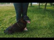 Psi ideał Malnus jest zawsze uśmiechnięty. Adoptuj